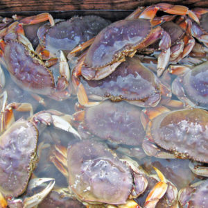 Live Dungeness crab in tank