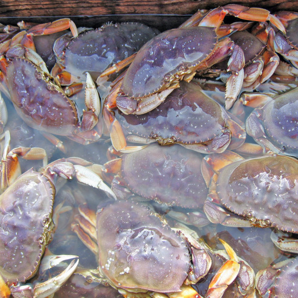 how to cook live dungeness crab